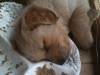 pup-sleeping-in-food